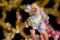 Yellow pygmy seahorse, hippocampus bargibanti, pregnant male, Raja Ampat, West Papua, Indonesia