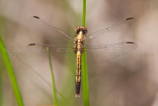 Little-Blue Dragonlet (Erythrodiplax minuscula) Dragonfly - Female, Lake Kissimmee State Park, Lake Wales, Polk County, Florida