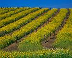 Mustard, Grapevines, Carneros District, Napa Valley, California