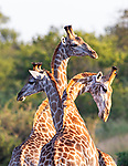 "MAIN IMAGE:  THREE HEADED GIRAFFE...... Three giraffes converge together to create an intruiging optical illusion.<br /> <br /> Looking like a triple-headed marvel of nature, the photo of the long-necked mammals was captured in the Kruger National Park, by Eddie D'Alton from Pretoria, South Africa.<br /> <br /> Eddie said, ""It was quite a lucky picture, the moment was over quite rapidly.  As soon as I saw them I realised it would make for a nice picture.""<br /> <br /> Please byline: Eddie D'Alton/Solent News<br /> <br /> © Eddie D'Alton/Solent News & Photo Agency<br /> UK +44 (0) 2380 458800"