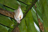 Northern Ghost Bat, Diclidurus albus, adult with young hanging from a leaf in Carara National Park, Costa Rica