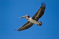 BROWN PELICAN (Pelecanus Occidentalis) an endangered species in flight over ELKHORN SLOUGH - MOSS LANDING, CALIFORNIA