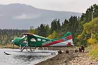Float plane on Naknek lake, Brown bear sow with cubs walk the shore, Katmai National Park, Alaska.
