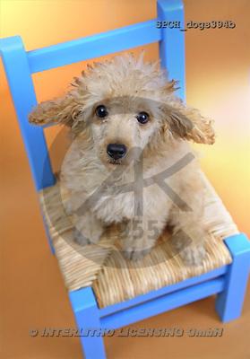 Xavier, ANIMALS, dogs, photos(SPCHdogs394b,#A#) Hunde, perros