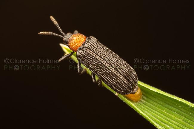 A female Leaf Beetle (Chalepus walshii) oviposits (lays eggs) on a blade of grass.