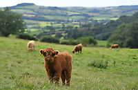 BNPS.co.uk (01202 558833)<br /> Pic: ZacharyCulpin/BNPS<br /> <br /> A calf at its new home on Eggardon Hill in Dorset<br /> <br /> A farmer whose beloved Highland cow was chased to its death by two pet dogs has been given nine more by a kind stranger.  <br /> <br /> Gladis, a 'beautiful' rare breed, broke her neck and died two months ago along with the unborn calf she was about to give birth to after tumbling 40ft down a steep embankment.<br /> <br /> She was running from two Labradors that had been let off their leads on Eggardon Hill near Bridport, Dorset.
