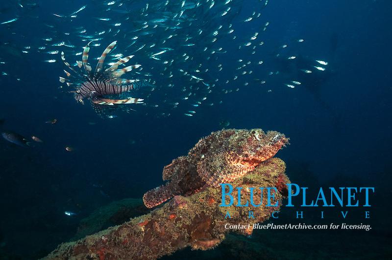 Scoripion fish (Scorpaenopsis oxycephata) and lionfish (Pterois miles) on Boonsung Wreck off of Khao Lak, Andaman Sea, Thailand