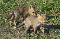 Red Fox Kit playing with a feather