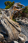 USA, California, USA, Yosemite National Park, western juniper