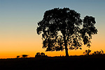 A cow with calf blur by an oak tree silhouette at dusk, Amador County, Calif.
