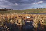 Trumpeter Swan sitting on nest