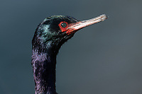 Pelagic Cormorant (Phalacrocorax pelagicus). Oregon. June.