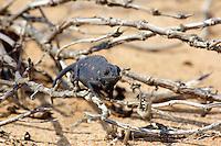 Namaqua Chameleon in The Living Desert, Swakopmund, Namibia