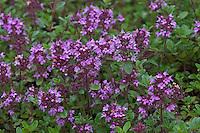 Frühblühender Thymian, Niedergestreckter Thymian, Thymus praecox, Arktische Unterart ssp. arcticus, Alba Thyme, Hairy Thyme, Thym précoce