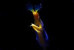 Really Blue Ribbon Eel , Lembeh Straits, Sulawesi Sea, Indonesia, Amazing Underwater Photography
