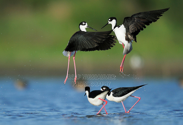 Black-necked Stilt (Himantopus mexicanus), two couples fighting, Dinero, Lake Corpus Christi, South Texas, USA
