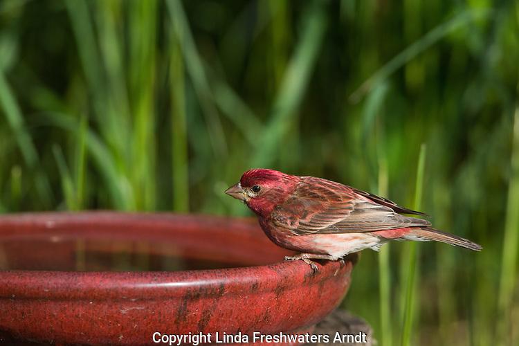 Male purple finch perched on a bird bath