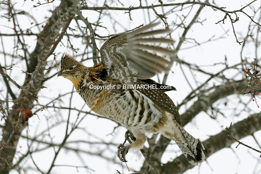 00515-075.18 Ruffed Grouse flutters its wings for balance while feeding on crab apples. Tree is mostly bare of fruit.  Feed, food, survive.