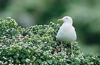 Herring Gull, Larus argentatus, adult, Hornoya Nature Reserve, Vardo, Norway, June 2001