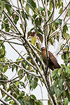 Tetepare Island, Solomon Islands; a pheasant coucal (C. phasianinus) high up in the trees on an overcast day