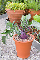 Kohlrabi in pot with leaves, purple Vienna variety in vegetable container garden, herbs in terracotta pots, raised beds, pebble mulch stone pathway, neat and tidyt veg gardening