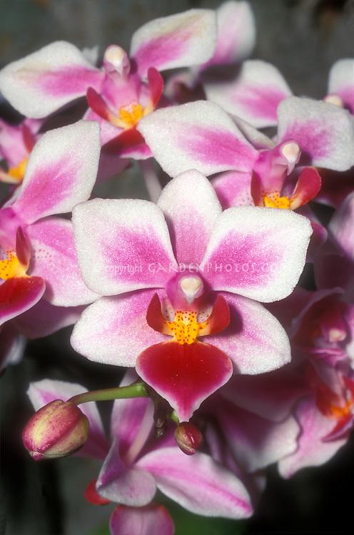 Phalaenopis Be Tris = Be Glad (Swiss Miss x Cassandra) x equestris, a multifloral phalaenopsis equestris hybrid. 36637 F
