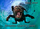 REALISTIC ANIMALS, REALISTISCHE TIERE, ANIMALES REALISTICOS, dogs, paintings+++++SethC_Lupo_CU8A0597work4,USLGSC46,#A#, EVERYDAY ,underwater dogs,photos,fotos ,Seth