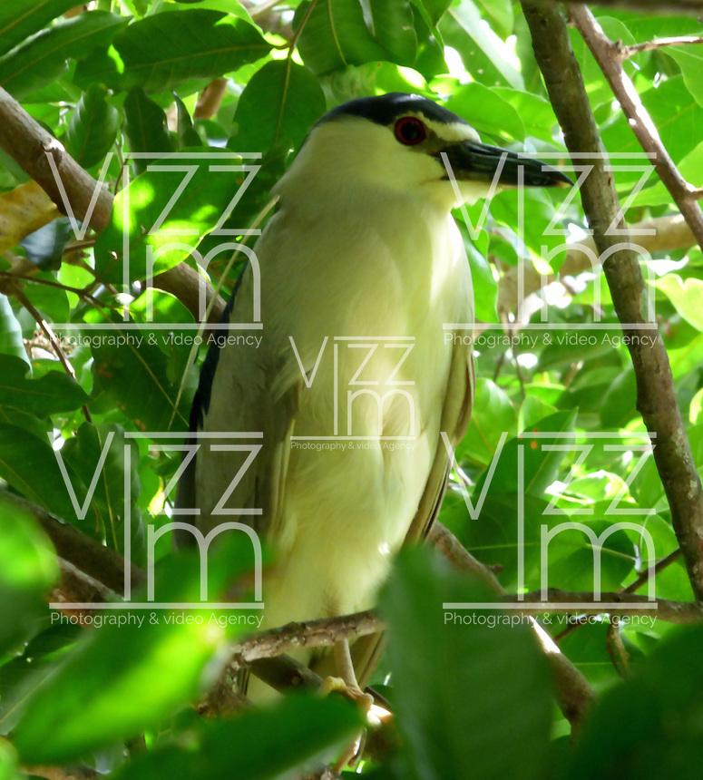 CALI - COLOMBIA, 30-06-2016: Guaco Comun, especie de ave presente en el norte de Cali. / Guaco Comun, bird species present in north of Cali Photo: VizzorImage / Dario Ramirez / Cont.