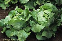 HS21-553x  Lettuce - Optima variety - Butterhead/Boston