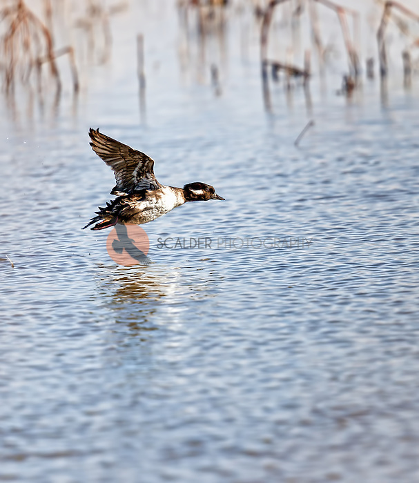 Female Bufflehead in flight over water with wings in upstroke