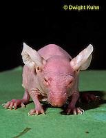 MU53-022z   Hairless Mouse - genetically bred, mutation