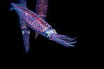Sepioteuthis sepioidea, Caribbean reef squid, Black Water diving over Gulfstream Current; Plankton; SE Florida Atlantic Ocean off Singer Island 5 miles due south.; larval fish; pelagic larval marine life; plankton creatures; vertical migration marine creatures