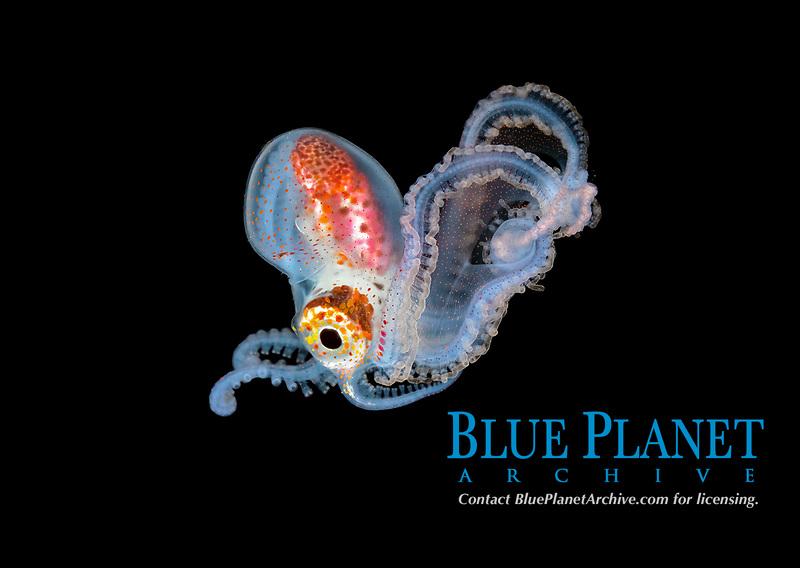 pelagic male Blanket Octopus, Tremoctopus species, blackwater dive off Anilao, Philippines, Pacific Ocean.