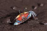 Fiddler crab.Uca sp.