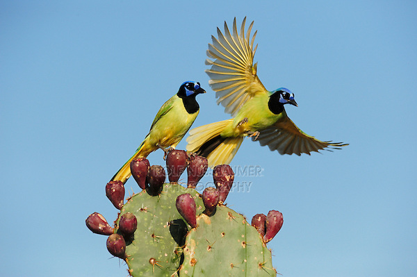 Green Jay (Cyanocorax yncas), pair perched on Texas Prickly Pear Cactus (Opuntia lindheimeri), Dinero, Lake Corpus Christi, South Texas, USA