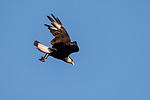 Damon, Texas; a crested caracara bird flying against a blue sky in late afternoon sunlight