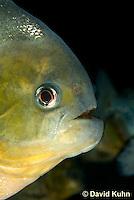 0319-1003  Red-bellied piranha, Pygocentrus nattereri  © David Kuhn/Dwight Kuhn Photography.