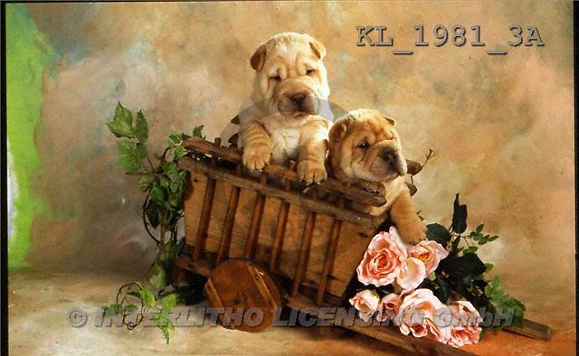 Interlitho, Alberto, ANIMALS, dogs, photos, 2 shar peis, cart, roses(KL1981/3A,#A#) Hunde, perros