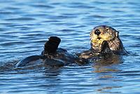 Southern sea otter or California sea otter Enhydra lutris nereis, adult, grooming, Monterey Bay National Marine Sanctuary, Monterey, California, USA, Pacific Ocean