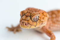 Rough knob-tailed gecko (Nephrurus amyae). Endemic to Australia. Gaining popularity in the pet trade.