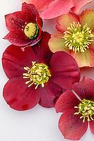 Helleborus hybridus 'Peggy Ballard' seedlings hellebore, single red