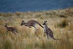 Western gray kangaroos, Australia