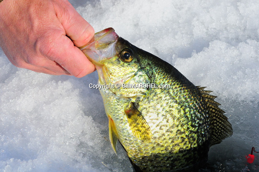 00247-012.16 Black Crappie is being pulled from hole in ice.  Fish, lake, winter, river, angle.