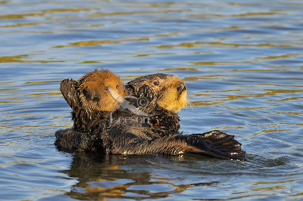 """Sea Otter (Enhydra lutris) mother caring for her young pup.  Young pups have light brown or yellowish fur called the """"natal pelage.""""  This fluffy fur helps the pup stay afloat before it learns the intricacies of swimming, and it will be completely replaced with dark brown adult fur by the time the pup is about three months old."""