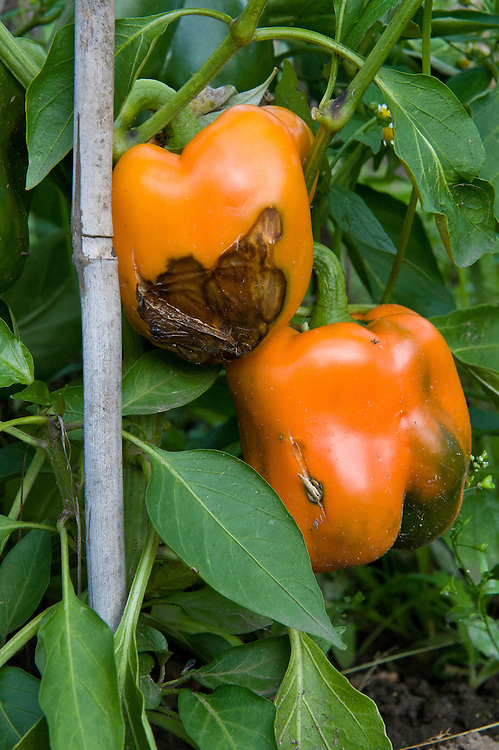 A split in the skin of this 'Arianne' sweet pepper has allowed infection to take hold and the fruit will quickly rot.