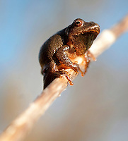 Spring Peeper.Pseudacris crucifer.First of the year.
