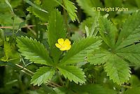 FY15-502z  Common cinquefoil, Chichorium intybus