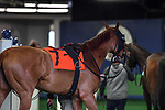 February 27, 2021:  Shessomajectic #7, in the saddling area before Spring Fever Stakes at Oaklawn Park in Hot Springs, Arkansas. Ted McClenning/Eclipse Sportswire/CSM