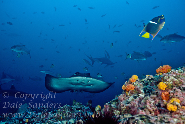 Marble Ray, Hammerhead Sharks, Whitetip Reef Shark, and Jacks at a cleaning station underwater off Cocos Island, Costa Rica.