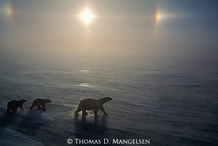 Two polar bear cubs follow their mother across the ice with sundogs shining above them in Canada.